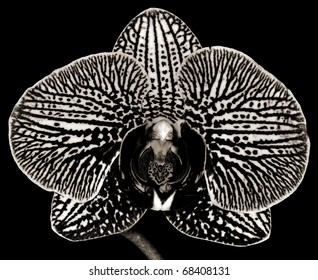Black and white rendering of a Phalaenopsis Orchid