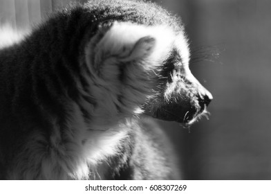 Black and white of ring tailed lemur