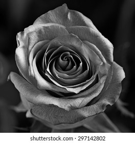 A black and white Rose