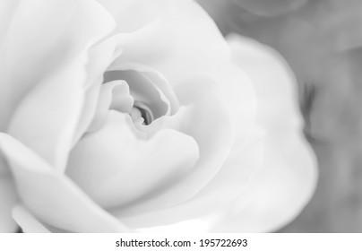 Black & White Rose, blurred