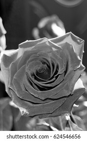Black and white rose flowers. A rose is a woody perennial flowering plant of the genus Rosa, in the family Rosaceae, or the flower it bears.