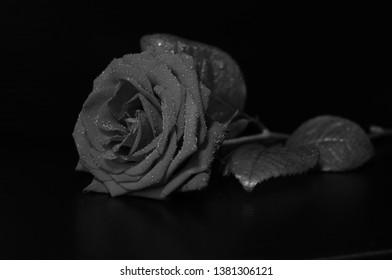 Black and white rose, moisturized on blackbackground