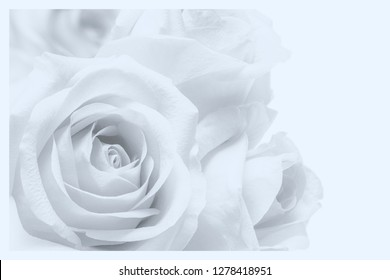 black and white rose on white background macro with white frame