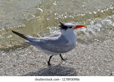 Black and White Royal Tern bird wading on the beach in Florida