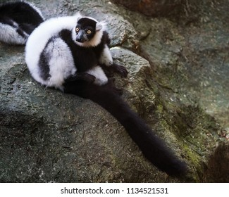 Black and white ruffed lemur clinging to branch, Lemurs Island, Andasibe National Park (Perinet), Madagascar