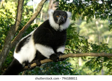 Black and white ruffed lemur clinging to branch, Lemurs Island, Andasibe National Park (Perinet), Madagascar