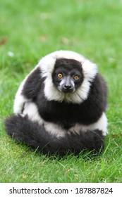 Black and white ruffed lemur(Varecia veriegata)