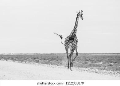 Black and white running away giraffe
