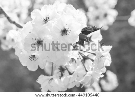 Black And White Sakura Or Cherry Blossom During Flowers Festival In Osaka Japan
