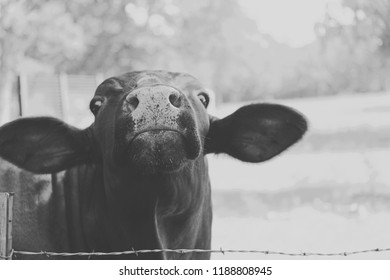Black and white Santa Gertrudis cow on farm looking funny.