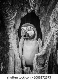 black and white scene.This beautiful blue-and-yellow macaw (Ara ararauna), also known as the blue-and-gold macaw.that live in tree hollows