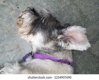 black and white schnauzer dog sleeping on cement floor with purple collar