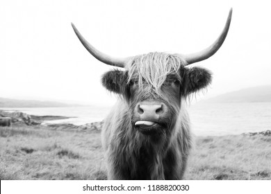Black and White, Scottish Highland Cow on Isle of Mull
