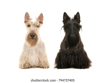 Black and white scottish terreir dog sitting next to each other seen from the front isolated on a white background