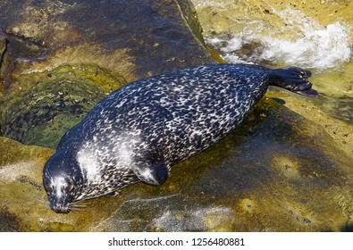 A  Black and White Sea Lion laying on the rocks of the ocean on the California Coast