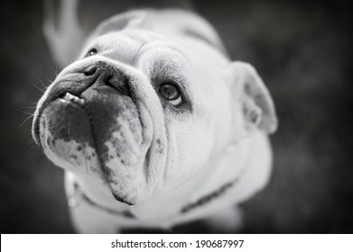 Black and White, selective focus, Beautiful Bulldog�