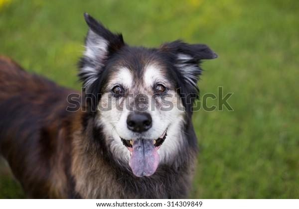 Black and white senior dog smiles outside
