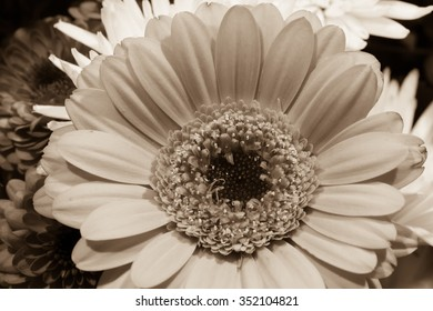 Black and white sepia toned Daisy