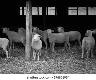 Black and White Sheep on a Farm
