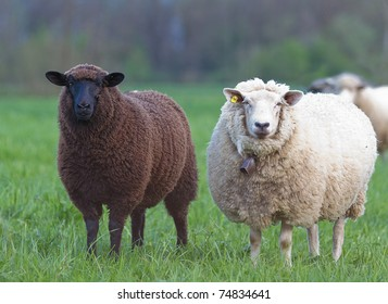 black and white sheep on pasture concept for good and bad contrast racism multi ethnic races cultures skin color sin innocence popular outcast