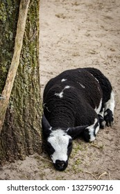 Black and White Sheep Sleeps by a Tree at a Cheese Making Farm outside of Amsterdam, Netherlands