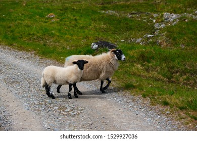 Black and white sheeps in Scotland
