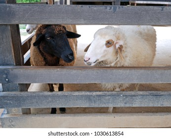Black and white sheeps in the wooden stall, they are waiting for food from tourist.