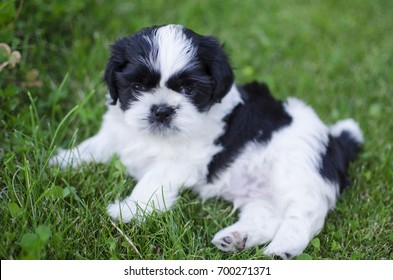 Black and white shih tzu puppy playing on the green grass background.