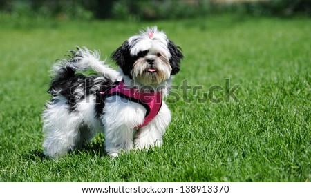 Black White Shih Tzu Puppy Wearing Stock Photo Edit Now 138913370