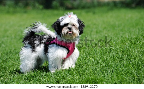 black and white maltese shih tzu
