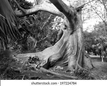 Black and white shot of a Kapok Tree in Bermuda