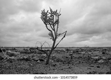 Black and white shot of a lone tree sprouting from the inhospitable salt flats in Camaguey province, Cuba.