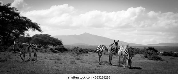 A black and white shot of three zebras in Kenya, Africa.