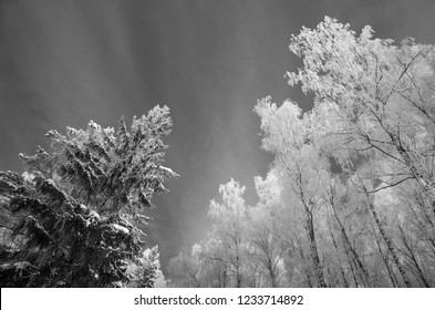black and white shot of tops of winter trees