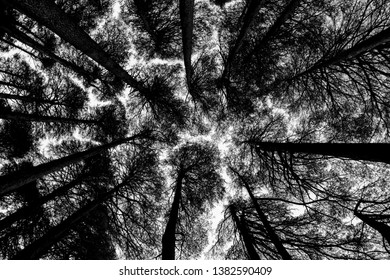 Black and white Shot of Tree Canopy. Shot in a dense forest showing dark or sad mood