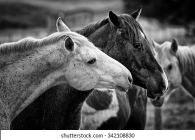 Black and White shot of two loving horses at a horse farm.