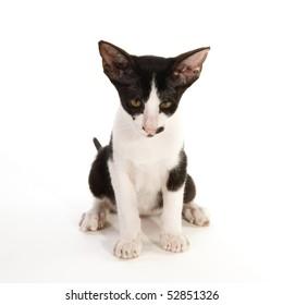 Black and white siamese cat