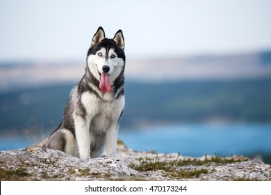 Black and white Siberian husky sitting on a mountain on the background of lakes and forests. The dog on the background of natural landscape.