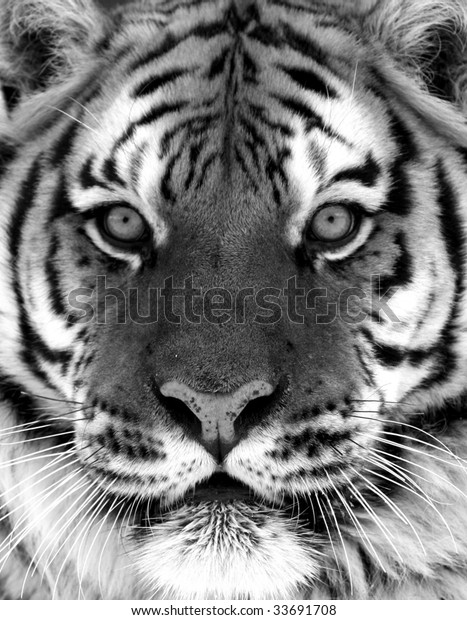 c92d42ffb Black White Siberian Tiger Portrait Stock Photo (Edit Now) 33691708