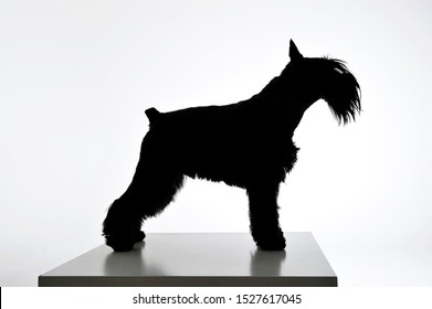 Black and white silhouette of an adorable Schnauzer standing on white background.