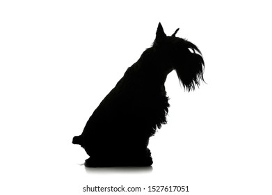 Black and white silhouette of an adorable Schnauzer sitting on white background.