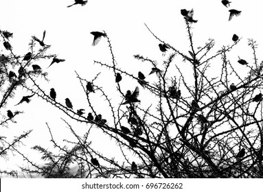 Black and white simple minimalist photo of a moment in nature, dark silhouettes of small birds flying around a dry thorny bush, captured in Africa on a safari drive.