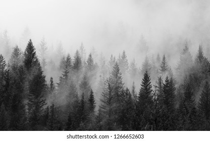 Black and White Sleepy Forest with Fog.