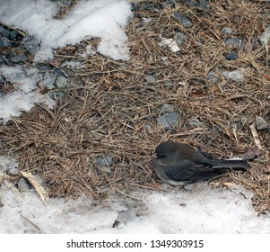 black and white snow bird on the ground with snow and pine needles and rocks