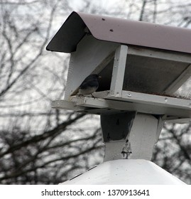black and white snowbird eating from a bird white feeder with a metal roof
