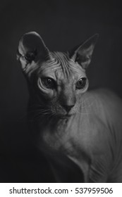 Black and white sphinx cat stylish portrait