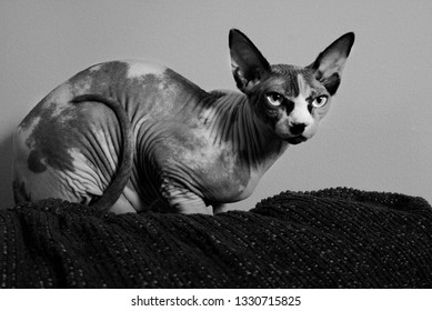 Black and white of a sphynx hairless cat