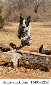 Black and white spotted dog leaping over logs, front view