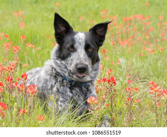 Black and white spotted dog in the middle of red wildflowers on a sunny spring meadow