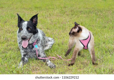 Black and white spotted dog outdoors in grass with a Siamese cat wearing a pink harness